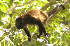Costa Rica Vacation Home for Rent:  Howler Monkeys are common in our area - and fascinating to watch.